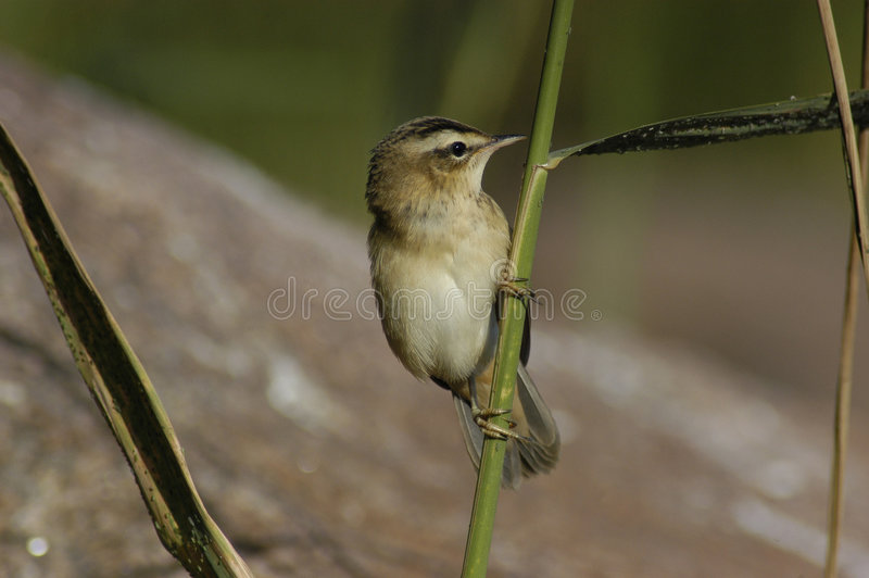 Sedge Warbler Royalty Free Stock Photography