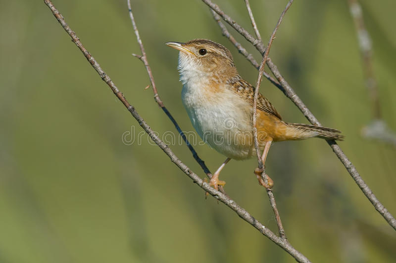 Sedge Wren. Perched on a branch royalty free stock photography