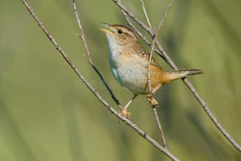 Sedge Wren. Perched on a branch singing royalty free stock photos