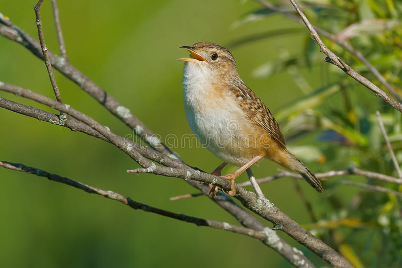 Sedge Wren. Perched on a branch singing royalty free stock photo