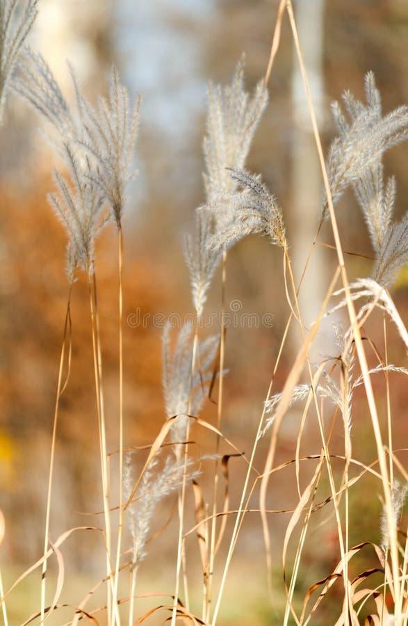 Sedges φθινοπώρου κάλαμοι με το blury υπόβαθρο στοκ εικόνες