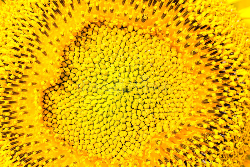 Sedno żółty słonecznik, makro- zdjęcie royalty free