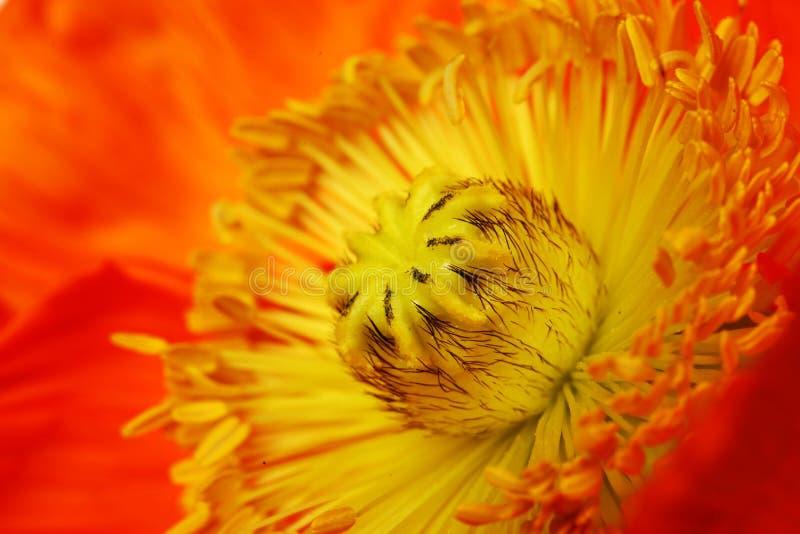 Sedno makowy kwiat z stamens zbliżeniem zdjęcie royalty free