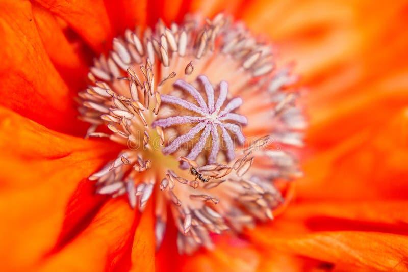 Sedno ognisty czerwony kwiat makro- Bardzo zbliżenie fotografia stock