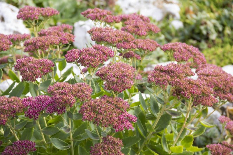 Sedo di Sedum della pianta di giardino prominente, o prominente fotografia stock