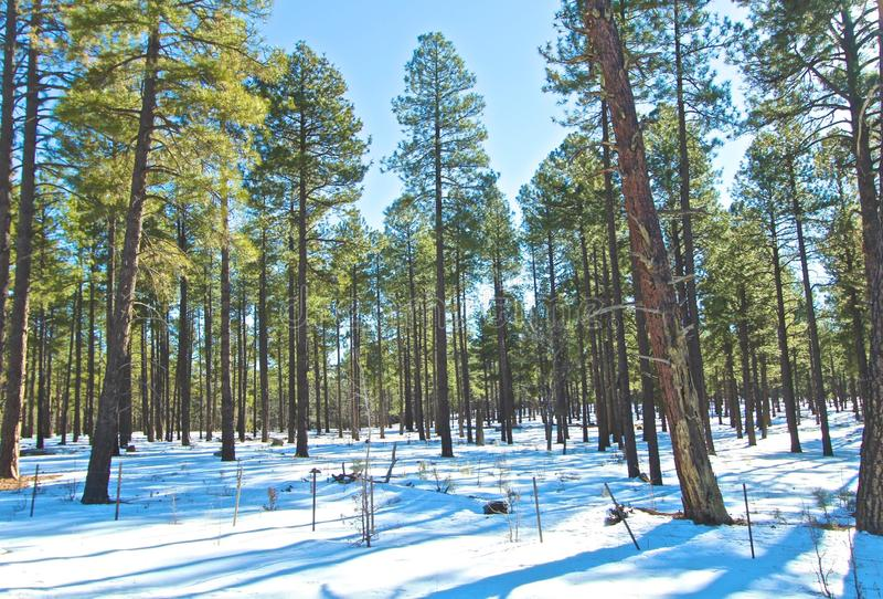 Sedona亚利桑那雪树 库存图片