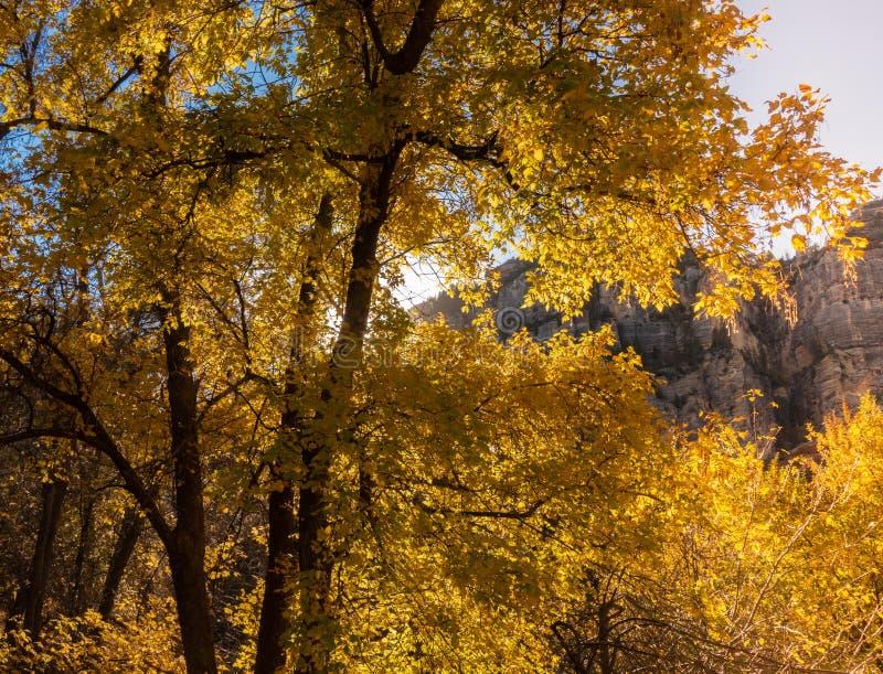 Sedona, Arizona, a tree changing in fall colors. Sedona in Arizona, trees changing in autumn fall colors stock photo