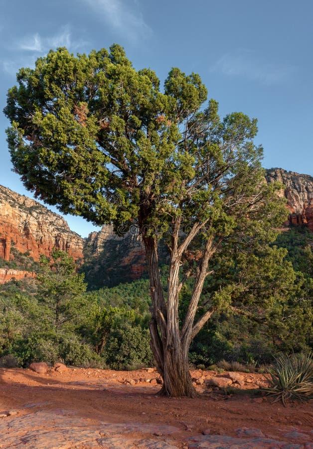Sedona, bel arbre, canyon d'Oak Creek, Arizona image stock