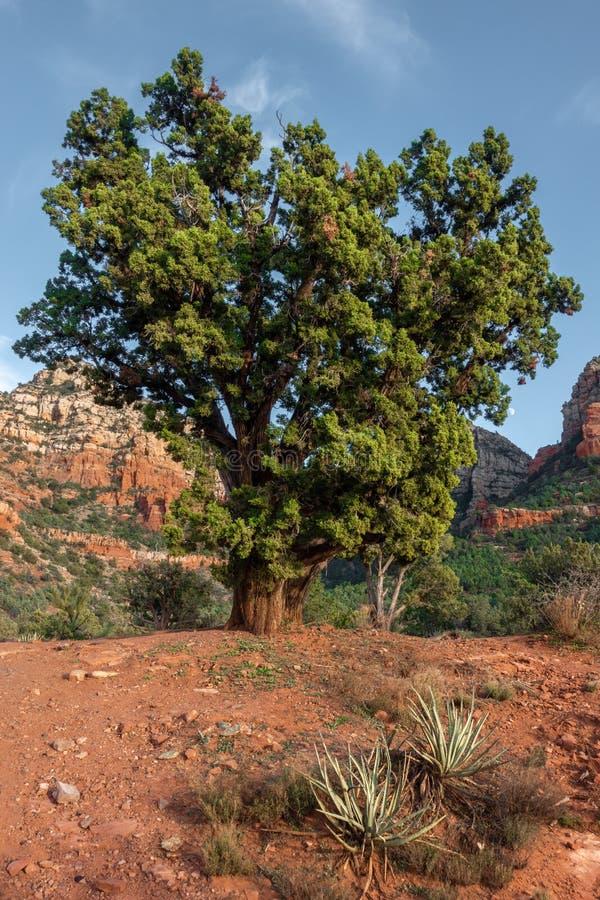 Sedona, bel arbre, canyon d'Oak Creek, Arizona image libre de droits