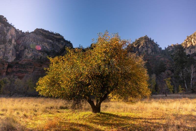 Sedona, Arizona, a tree changing in fall colors. Sedona, Oak Creek Canyon, Arizona, a tree its leaves changing in fall colors royalty free stock images