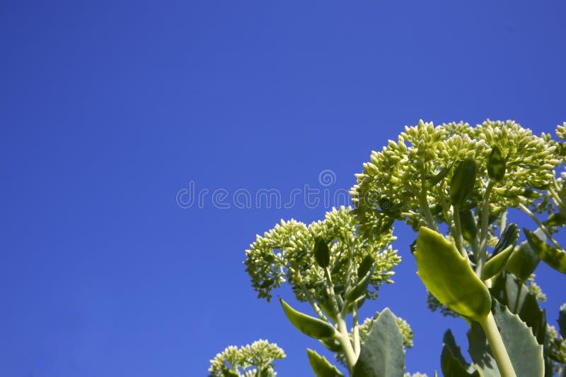 Sedum年轻绿色生长灌木与束的芽 库存图片