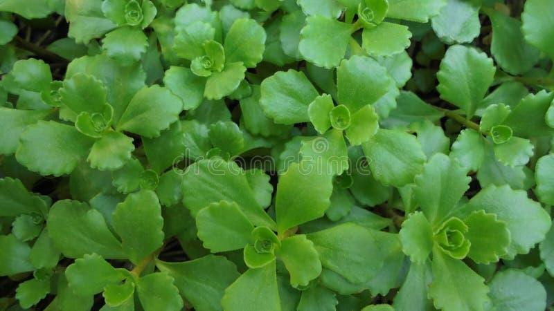 sedum绿色年轻绿色叶子在床上 库存照片