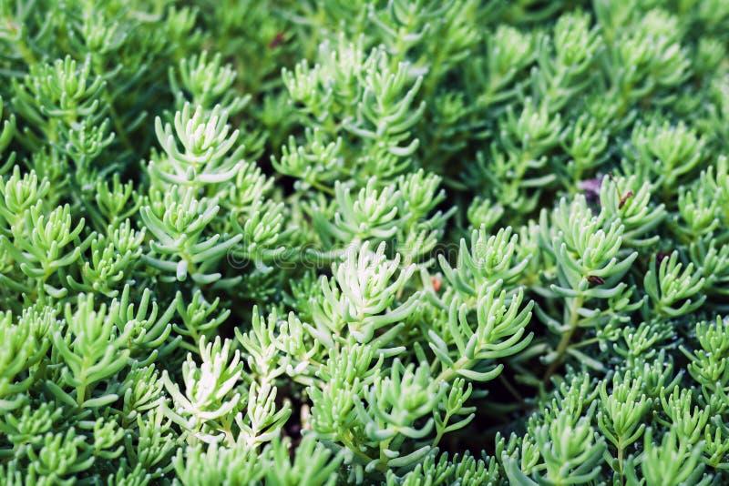 Sedum,有绿色叶子的多汁植物在庭院里构造背景,植物 免版税库存照片