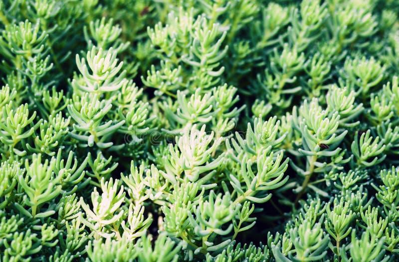 Sedum,有绿色叶子的多汁植物在庭院里构造背景,植物 库存图片