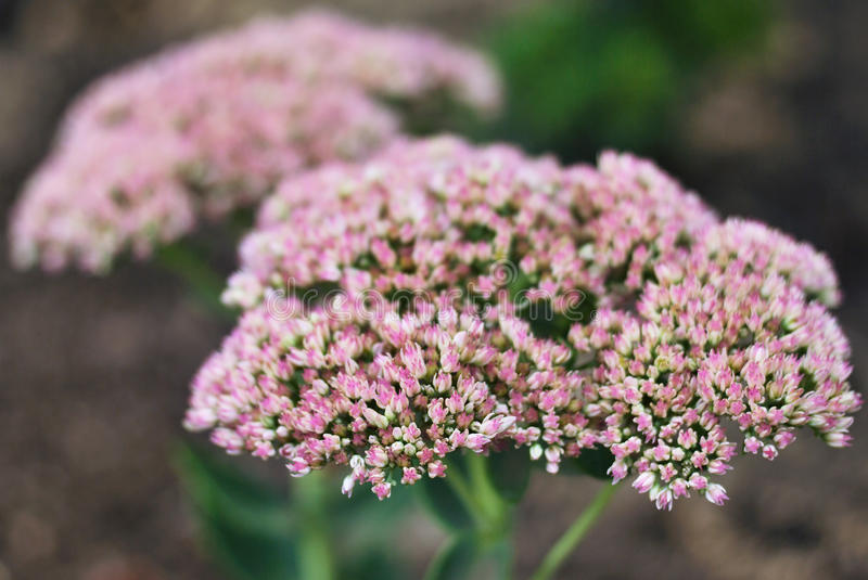 Download Sedum stock image. Image of lovely, summer, flora, closeup - 10999425