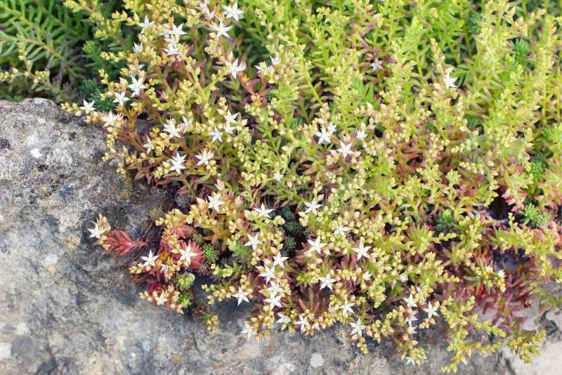 Sedum album flowers on the rocks in the garden royalty free stock image