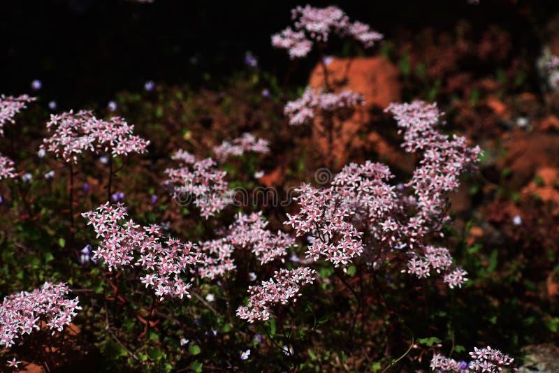 Flowers of Sedum Album in the garden. stock photos