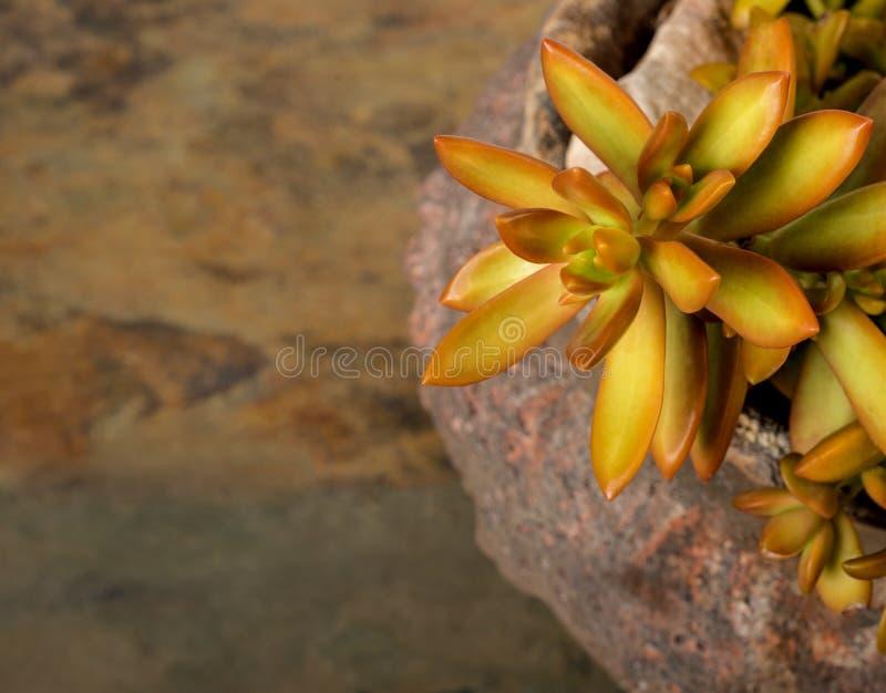 Sedum dourado em um potenciômetro de argila velho na ardósia fotografia de stock royalty free