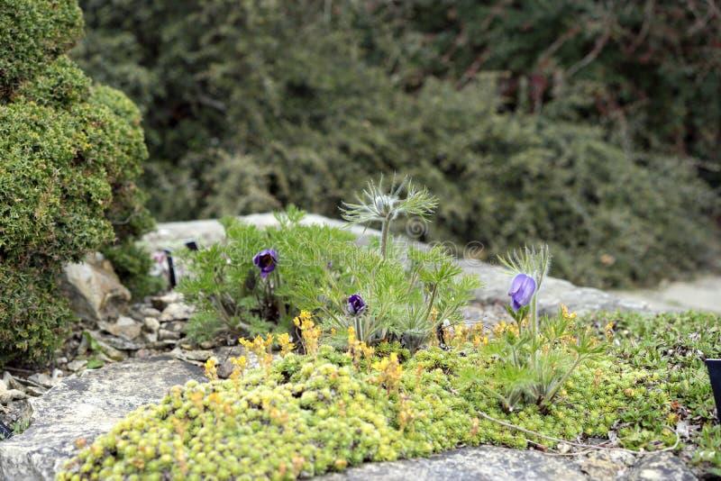 Sedum et fleurs alpins image libre de droits