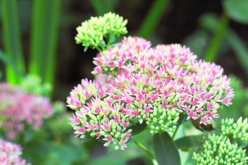 Sedum fiorisce il primo piano fotografie stock