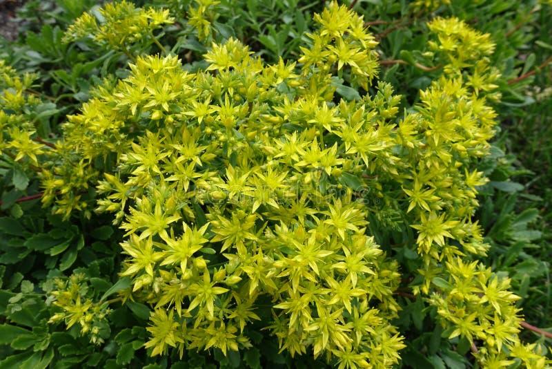 Sedum-kamtschaticum in der Blüte im Garten stockfotografie