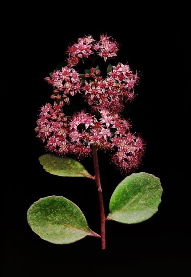 Download Sedum no preto foto de stock. Imagem de botany, florescer - 65579356