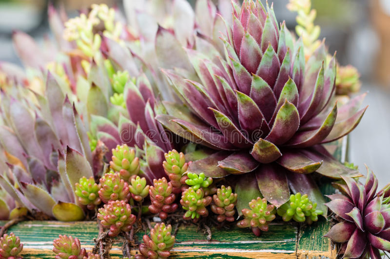 Sedum plants in a green roof. Sedum plants planted in a green roof planter stock photo