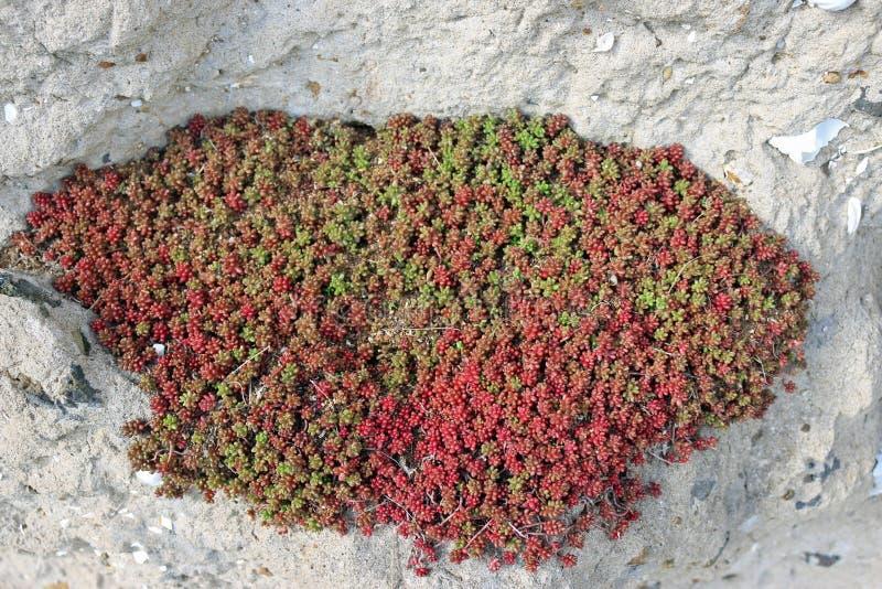 Sedum rośliny w rockery zdjęcie stock