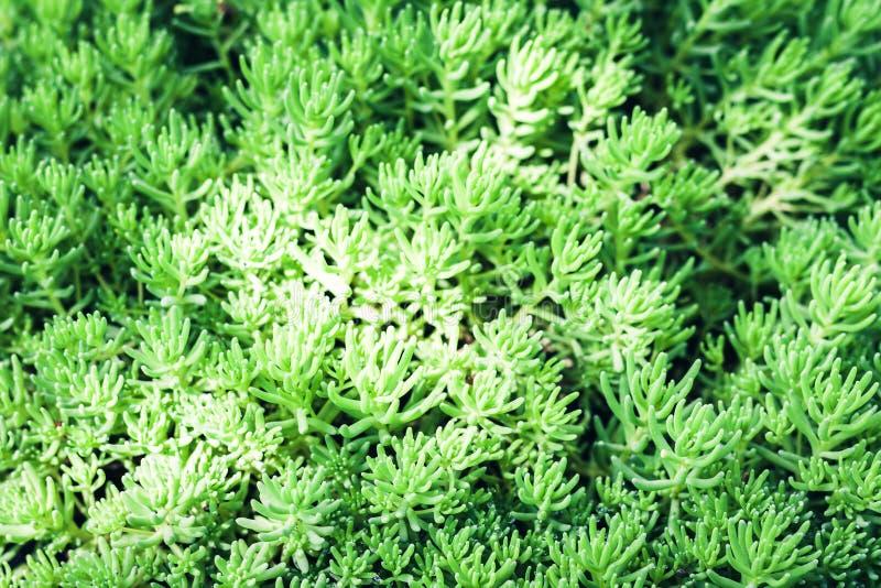 Sedum, saftige Anlage mit grünen Blättern masern Hintergrund, Anlagen in einem Garten stockfotografie