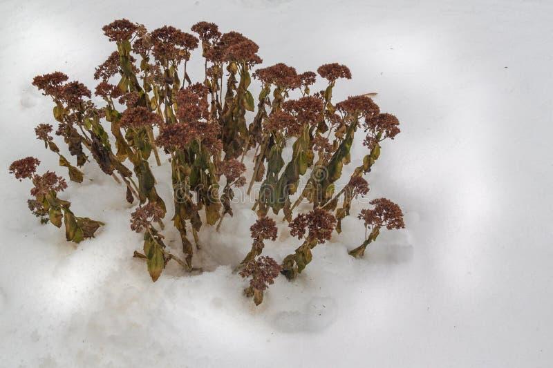 Sedum sec pendant l'hiver photos libres de droits