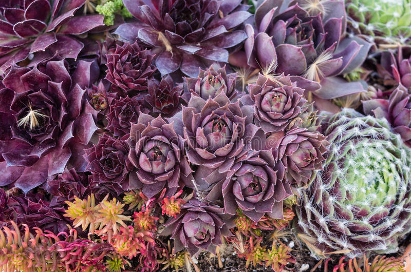 Sedum or sempervivum plants for use with sustainable green roof. Sedum or sempervivum plants for use as a green roof or in a rock garden stock image