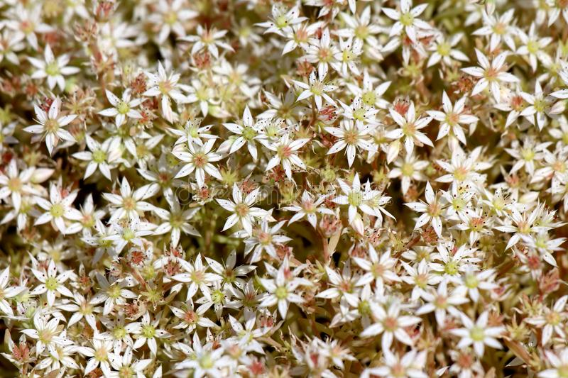 Sedum or Stonecrop hardy succulent ground cover perennial plants background texture with open blooming white flowers and thick stock photography
