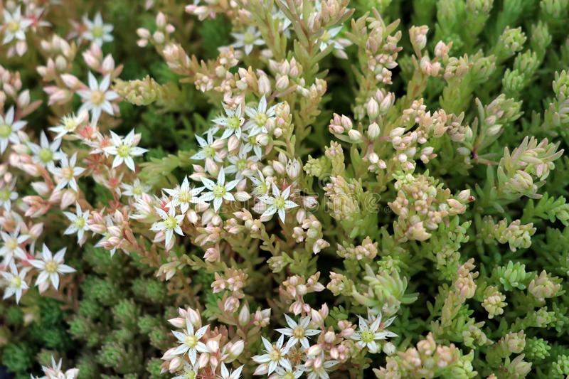Sedum or Stonecrop hardy succulent ground cover perennial plants with succulent leaves and fleshy stems with flowers starting to. Sedum or Stonecrop hardy royalty free stock photo