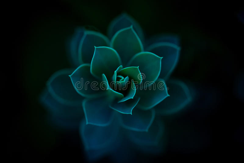 Sedum Succulent Perrenial Botanical Plant stock photography