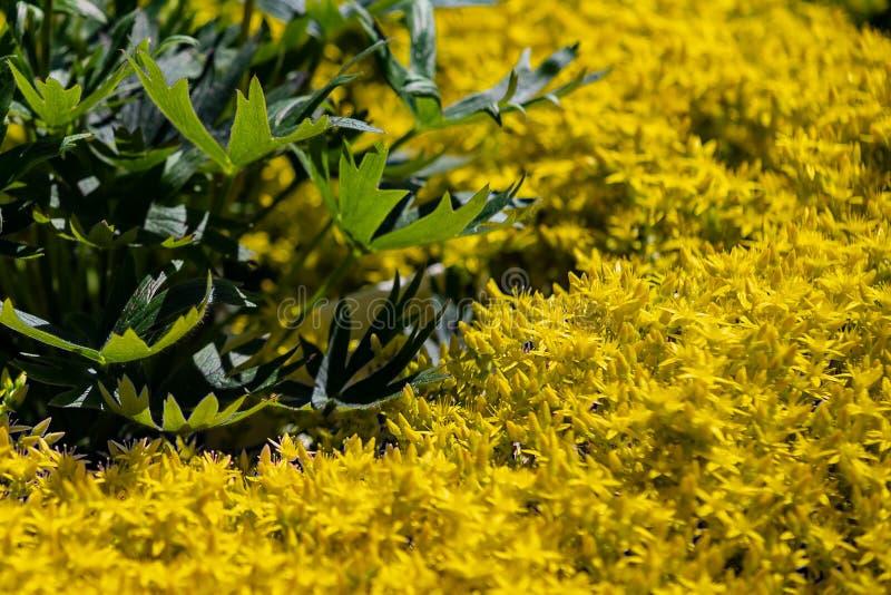 Sedum tunnland, makro för blommor för goldmossfetknopp gul arkivbild