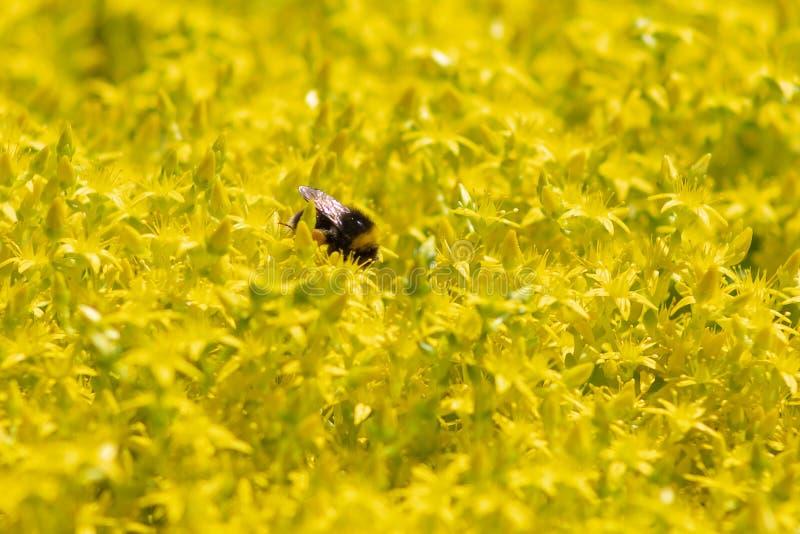 Sedum tunnland, makro för blommor för goldmossfetknopp gul arkivbilder
