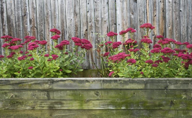 Sedum vermelho no outono imagem de stock