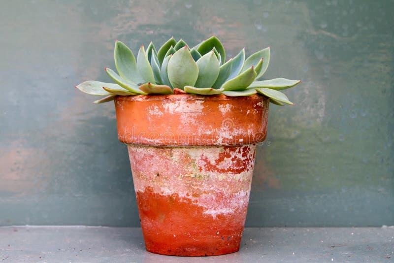 Sedumcactus in oude victorian installatiepot royalty-vrije stock afbeelding
