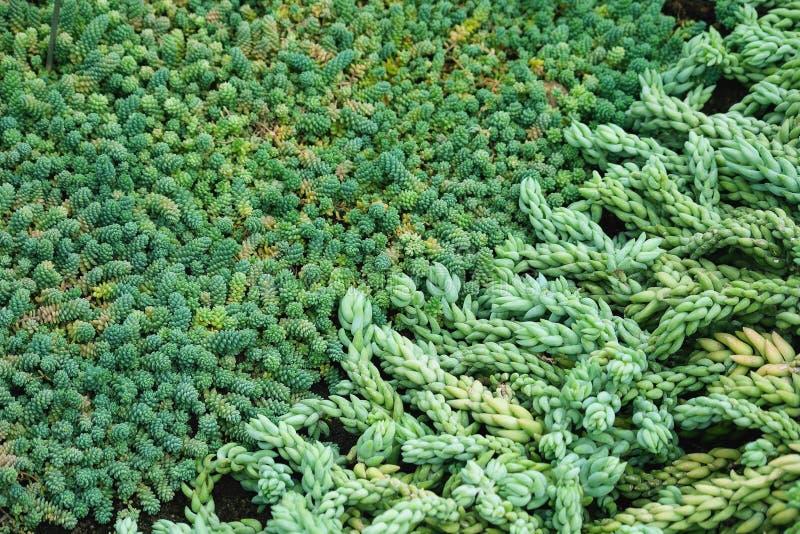 Sedummorganianum e walther, hangende installatie, graptopetalum succulents royalty-vrije stock foto