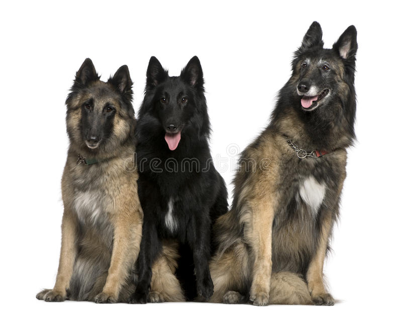 Seduta belga dei cani di pastore immagine stock