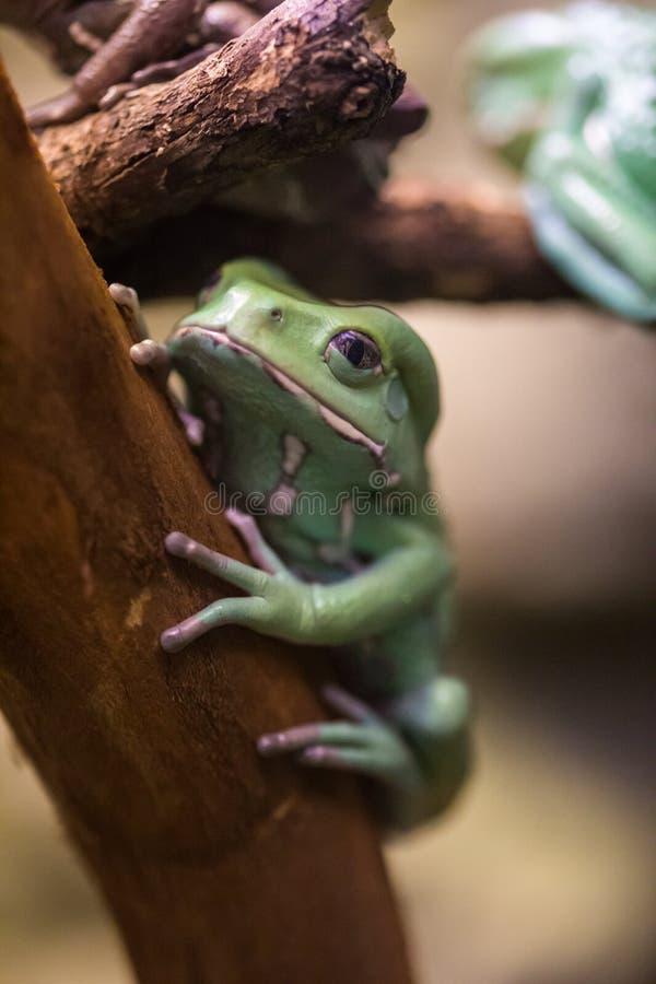 Seduta cerea della rana di albero fotografia stock libera da diritti
