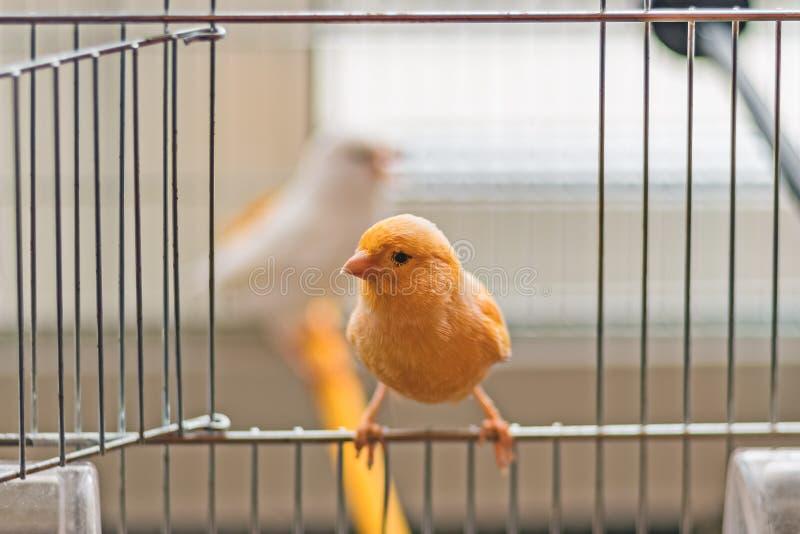 Seduta color giallo canarino gialla sulla porta aperta della gabbia, profondità di campo bassa immagine stock
