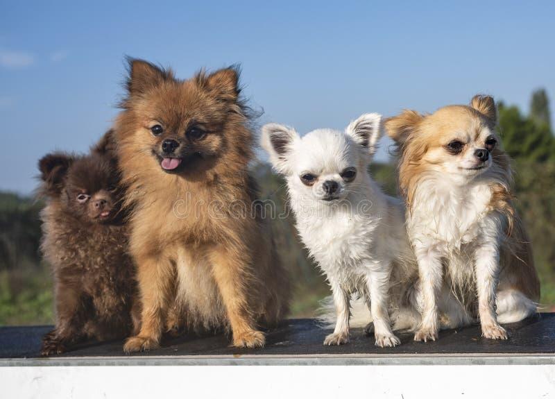 Seduta dei piccoli cani immagine stock