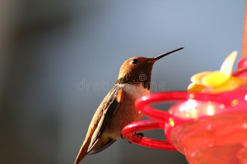 Seduta del colibrì di Brown fotografia stock