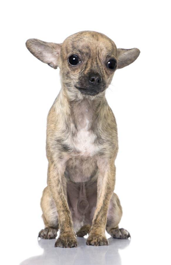 Seduta del cucciolo della chihuahua (7 mesi) fotografia stock