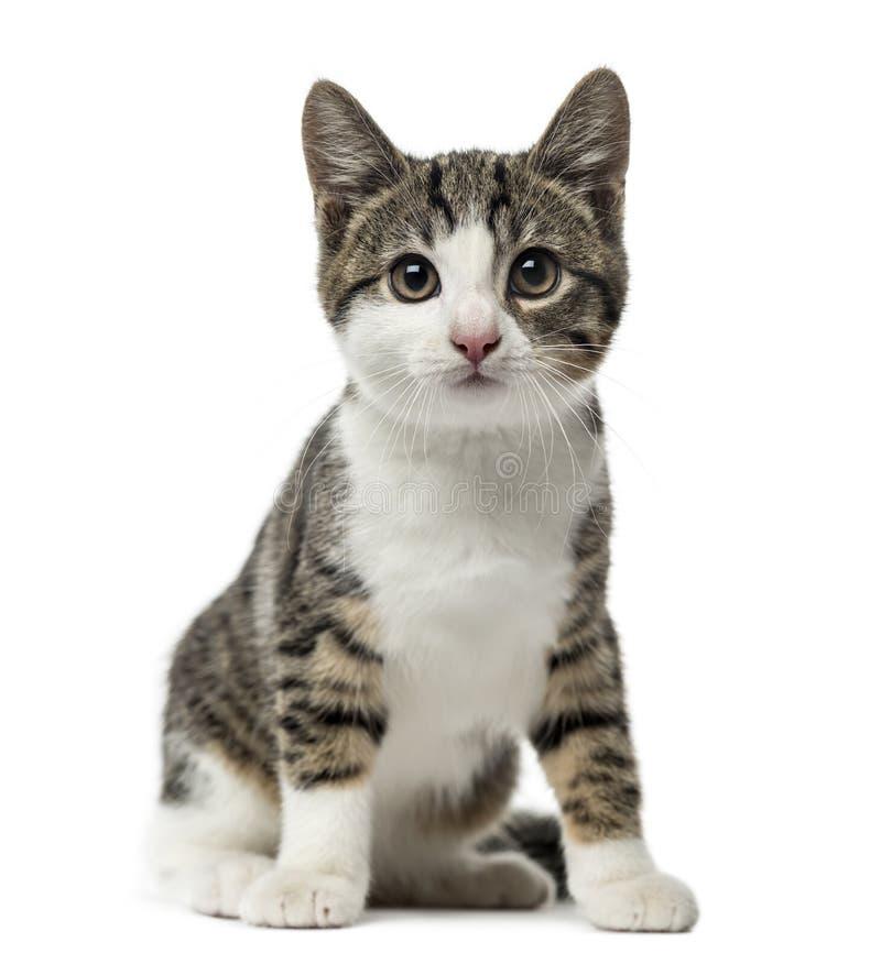 Seduta del gatto domestico del gattino, 3 mesi, isolati immagine stock libera da diritti