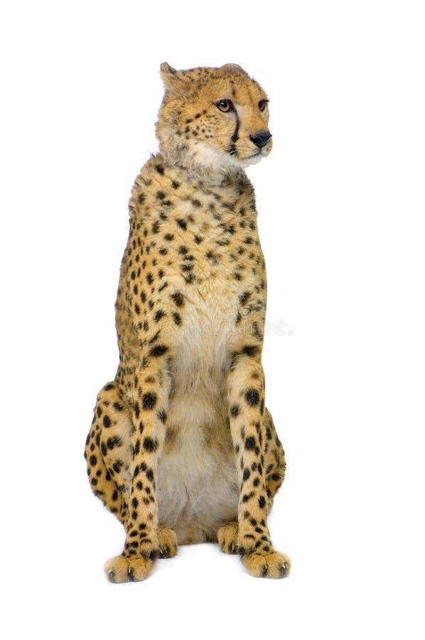 Seduta del ghepardo; immagini stock