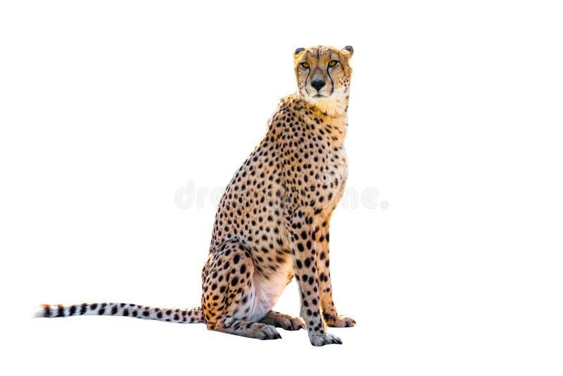 Seduta del ghepardo immagine stock