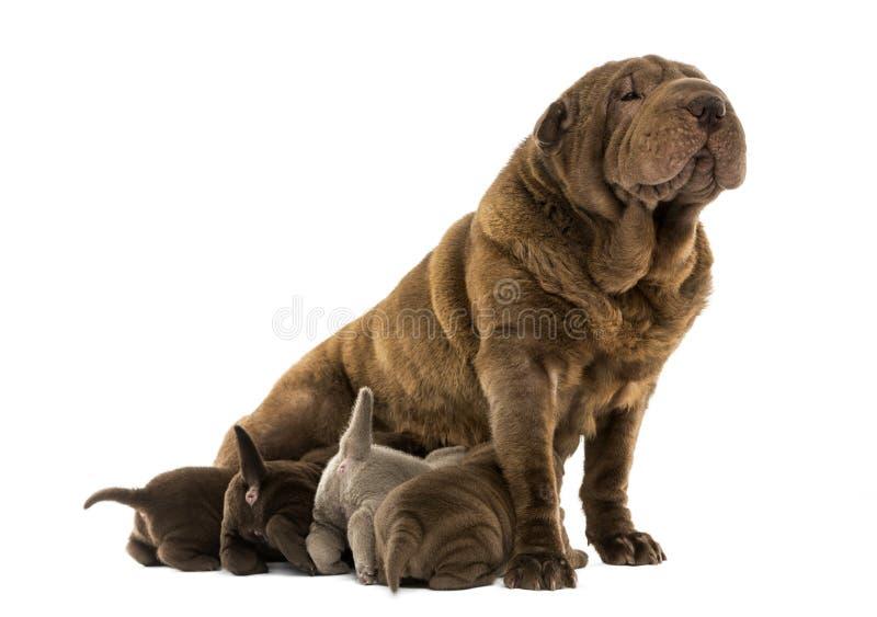Seduta della mamma di Shar Pei, allattamento al seno i suoi cuccioli fotografia stock libera da diritti