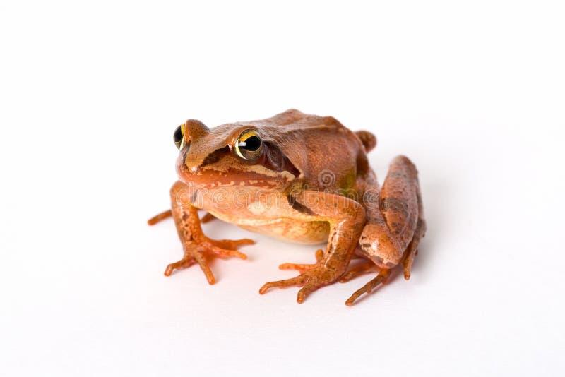 Seduta della rana isolata su fondo bianco Una rana di molla di It(rana dalmatina) immagine stock